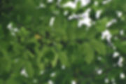 Maclura tinctoria leaves.jpg
