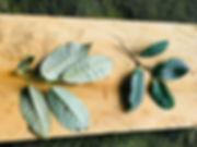 Myristicaceae Otoba parviflora.jpeg
