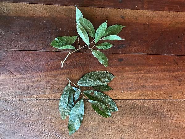 Moraceae Sorocea pubivena 1.jpg