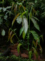 Flacourtaceae_3 (1).JPG