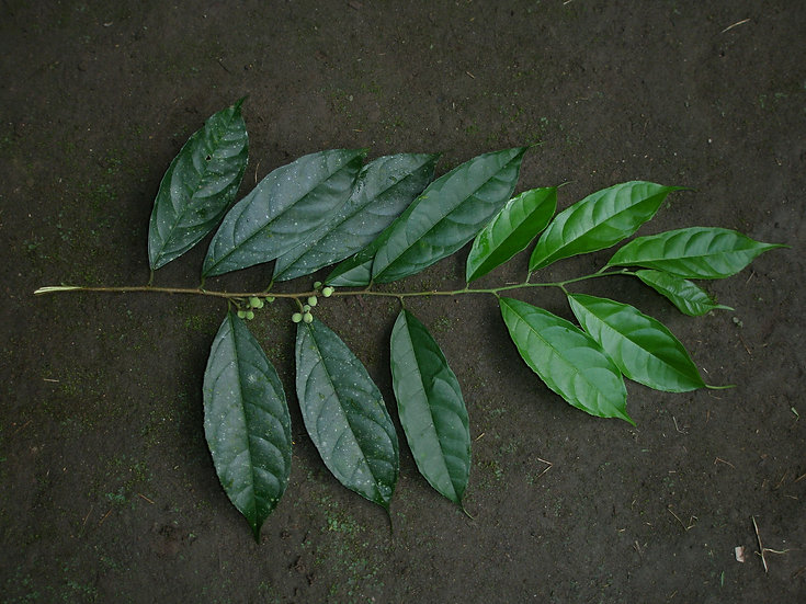 Moraceae_Soraceae_Ichilla_Chinchi_Photo_