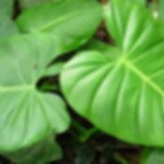 850_1_Lead_Araceae_Philodendron_Bituti_H
