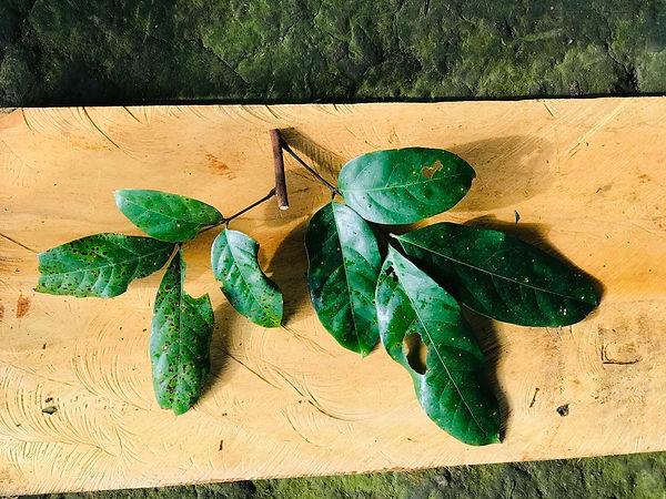Sapindaceae Matayba macrocarpa.jpg