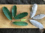 Chrysobalanaceae Licania macrocarpa 740