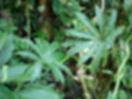 850_1_Lead_Araceae_Philodendron_Q_Yacami