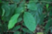 Xylosama intermedia (2).jpg