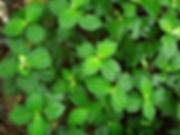 Urticaceae_Pilea 1_Spp_Photo_Swanson.JPG