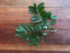 Anacardiaceae Spondias mombin 3_edited.j