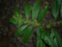Cestrum_Solanaceae_Swanson.JPG