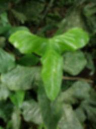 Anthurium_Triphyllium_Photo_Swanson_2.JP