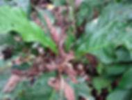 850_1_Lead_Araceae_Anthurium_Anguila_Pan
