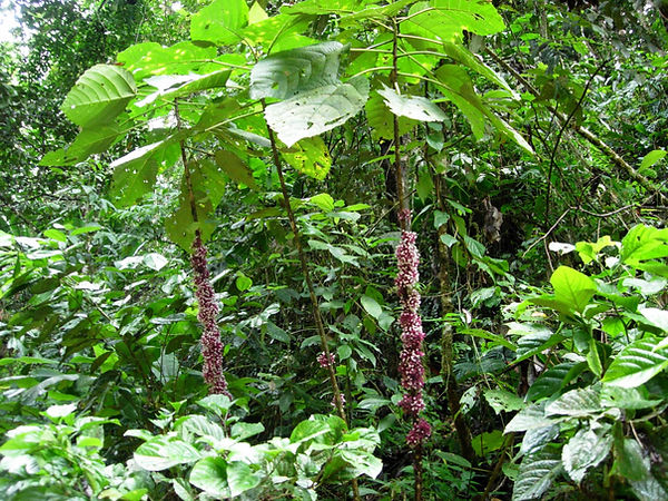 0_Urticaceae_Urera_caracassana_Q_Puca_Ch