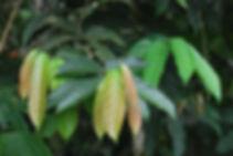 Tetrathylacium macrophyllum (2).jpg