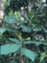 Pentagonia Rubiaceae.jpg