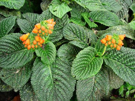 Gesneriaceae_Gasteranthus_corallinus 1.j