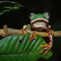 green frog 950 (1).jpg