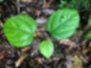 Menispermaceae Abuta pahnii.jpeg