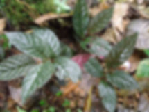 Gesneriaceae_Monopyle.JPG