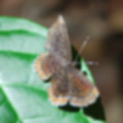 brown butterfly 1100.jpg