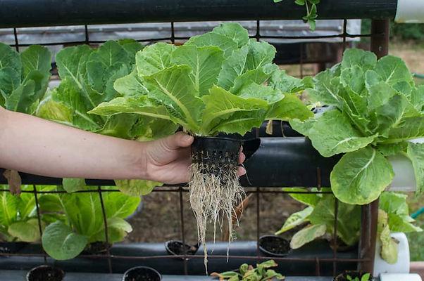 hydroponics-vs-soil-1.jpeg