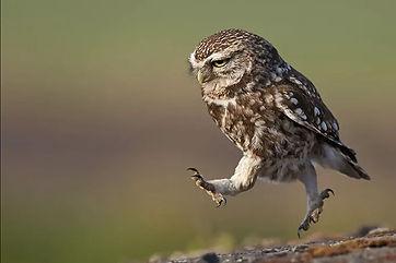Little-Owl-marching.jpg