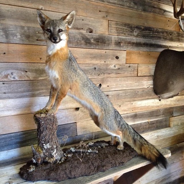 ottea taxidermy