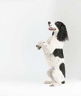 black and white spaniel  on gray backgro