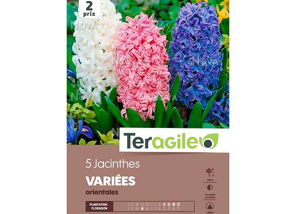 BULBES DE JACINTHES 'VARIÉES' - ORIENTALES - TERAGILE® - X5