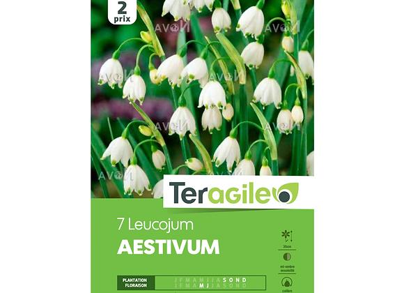BULBES DE LEUCOJUM 'AESTIVUM' - TERAGILE® - X7