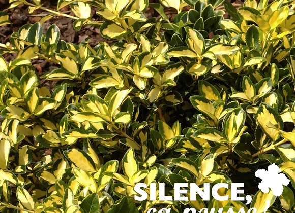 EUONYMUS FORTUNEI BLONDY® 'INTERBOLWI' - POT 2L