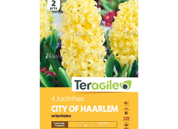 BULBES DE JACINTHE 'CITY OF HAARLEM' ORIENTALES - TERAGILE® - X4