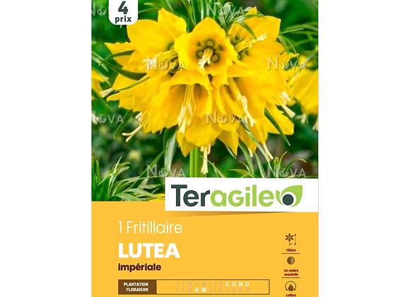 BULBE DE FRITILLAIRE 'LUTEA' IMPÉRIALE - TERAGILE® - X1