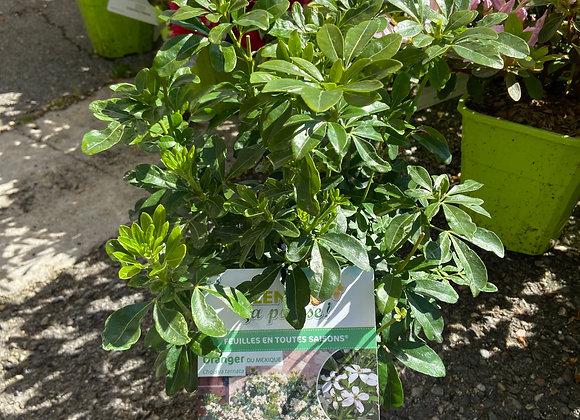 CHOISYA TERNATA ( oranger du Mexique)