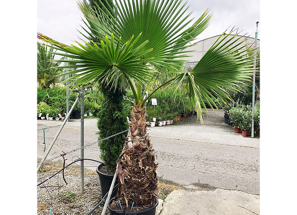WASHINGTONIA ROBUSTA 50L