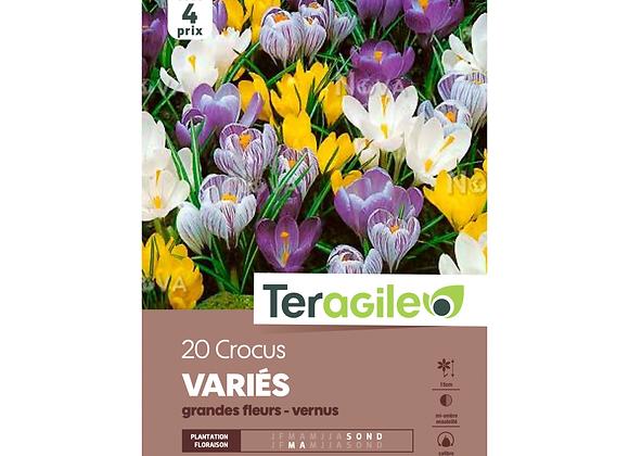 BULBES DE CROCUS 'VARIÉS' - GRANDES FLEURS - VERNUS - TERAGILE® - X20