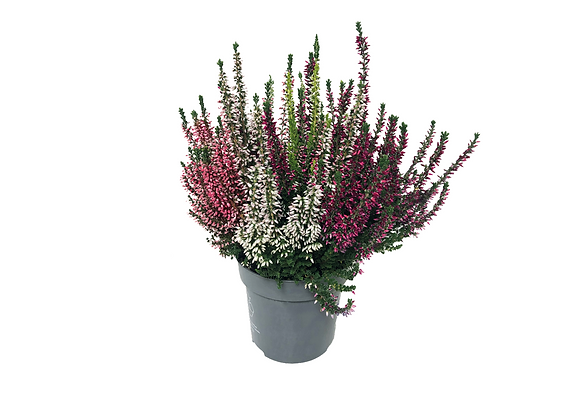 CALLUNA VULGARIS 'BEAUTY LADIES' ∅12CM