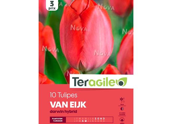 BULBES DE TULIPES 'VAN EIJK' - DARWIN HYBRID - TERAGILE® - X10