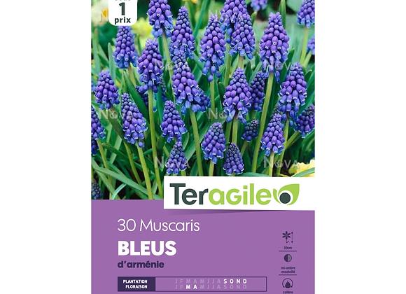 BULBES DE MUSCARIS 'BLEUS' D'ARMÉNIE - TERAGILE® - X30