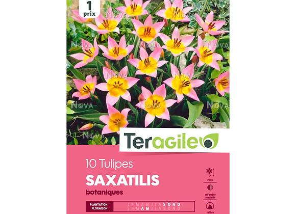 BULBES DE TULIPES 'SAXATILIS' BOTANIQUES - TERAGILE® - X10
