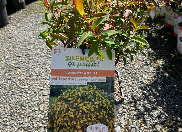 HYPERICUM HIDCOTE ( millepertuis  arbustif )