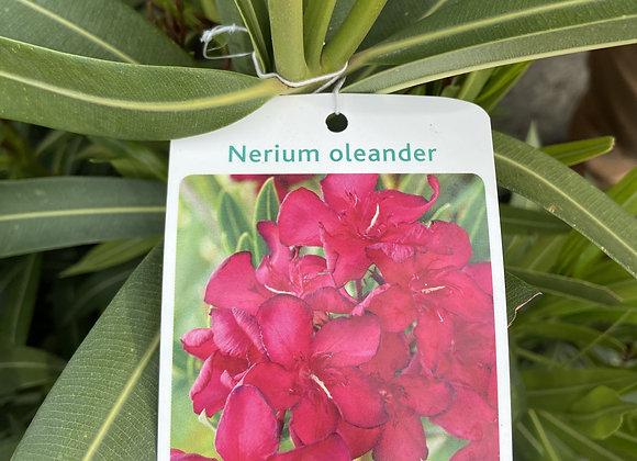 NERIUM OLEANDER ROUGE SIMPLE ( laurier à fleur )