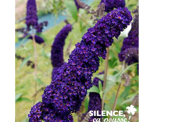 BUDDLEJA DAVIDII 'BLACK KNIGHT' - POT 2L