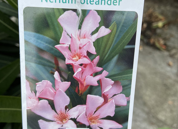 NERIUM OLEANDER ROSE SIMPLE (laurier à fleur)
