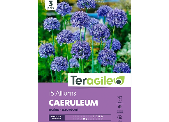 BULBES D'ALLIUMS 'CAERULEUM' NAINS - AZUREUM - TERAGILE® - X15
