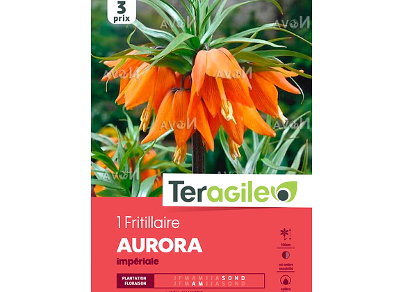 BULBE DE FRITILLAIRE 'AURORA' IMPÉRIALE - TERAGILE® - X1