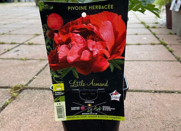 PIVOINE HERB.LITTLE ARMAND C1