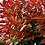 Thumbnail: PHOTINIA X FARSERI 'RED ROBIN' - 3L