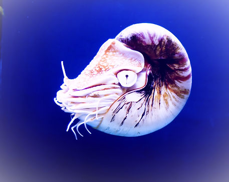 Nautilus%20Shell_edited.jpg