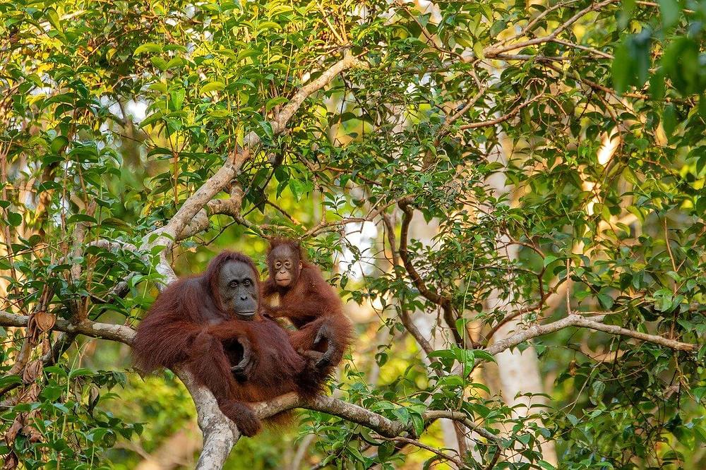Seekor ibu dan bayi orangutan berpelukan diatas sebuah pohon di hutan.