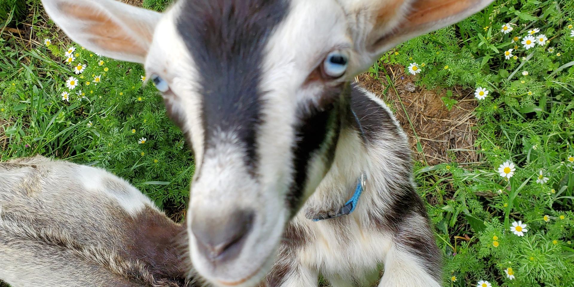 Freddie Keddie, a sweet sweet goat